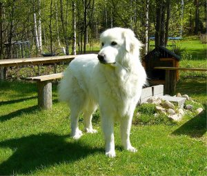 training a great pyrenees to guard chickens