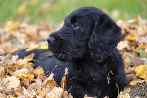 how to care for a labradoodle