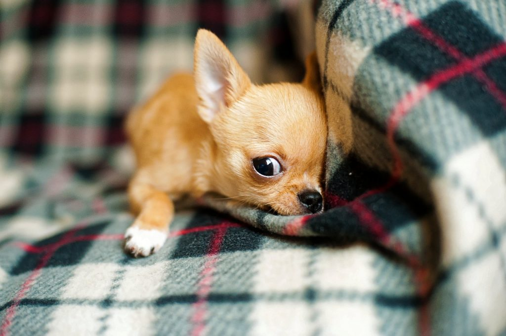 how long does chihuahua stay in heat