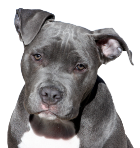 indestructible dog toys for pit bulls