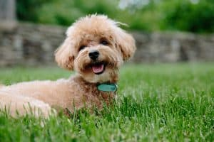 dog breeds that start with p