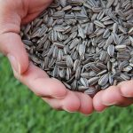 are sunflower seeds bad for dogs